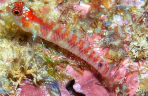 なにこれ可愛い!東ティモールのサンゴ礁で美しい新種のハゼが発見される