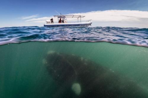 【恐怖】巨大なクジラが小さな船の下を泳ぐ光景