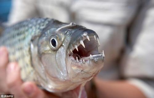 世界初!飛行中の鳥を淡水魚が捕食する映像が撮影される