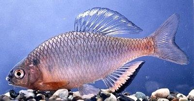【悲報】絶滅危惧種の魚を40倍近く増やす。→国で引き取って欲しい。 → 犯罪発覚、書類送検へ。