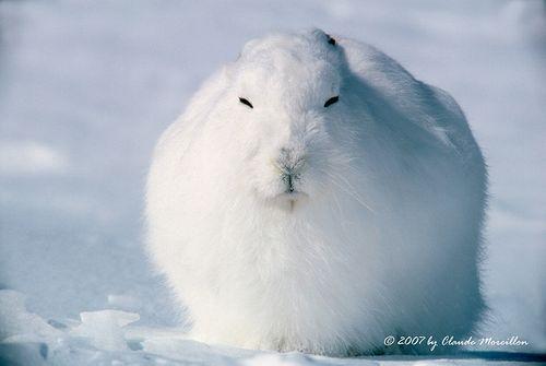 【画像あり】ホッキョクウサギが立ち上がった時のコレジャナイ感は異常wwwwww