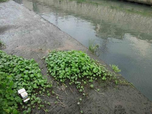 水草って通販やホムセンで買わなくても近所の川に自生してる!二ヶ月後・・・