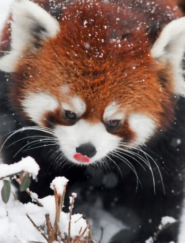 【萌え死に注意!】 雪原で暴れ回るレッサーパンダを撮影した数枚の画像がヤバいと話題に wwwwww !! (※画像まとめ)