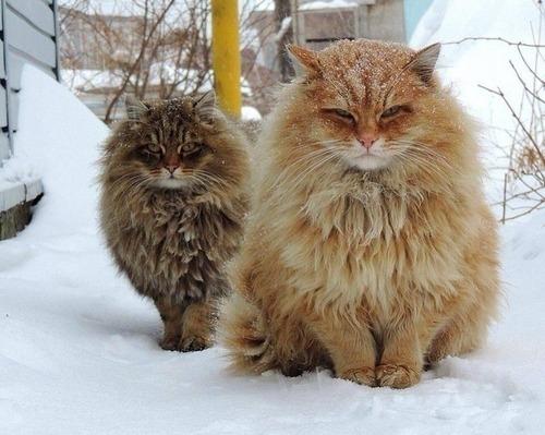 【画像】 シベリアの猫がたくましすぎると話題に!!ワロタwww
