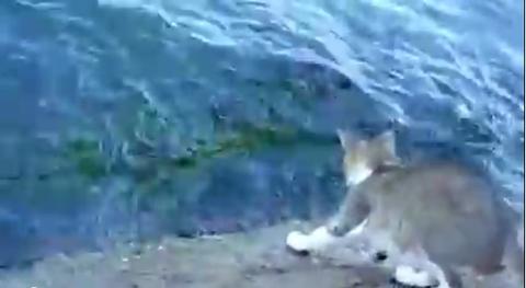海で魚を捕る猫さんの動画!【ほんのちょっとだけ海外の反応】