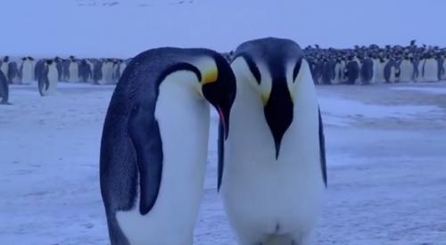 凍死した我が子を見て嘆く、母親ペンギンの悲痛な叫び(動画)