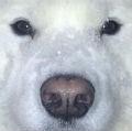 (大雪) 散歩から帰ってきた犬がヤバイwwwそりゃこうなるよなwwww