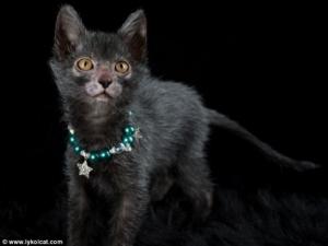 【遂に!!】 ネコに新たなる品種 「リュコイ」 が誕生! 男前すぎワロタwwwww (画像あり)