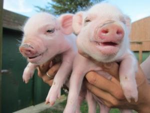 【トリビア】豚の体脂肪率ってサッカー部の男子高校生と同じくらい・・・