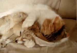 フェネックギツネのお母さんは猫!ペロペロ舐め回す姿が愛おしい【海外の反応】