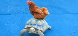 送料無料。亀で輸送される動物たちの動画総集編