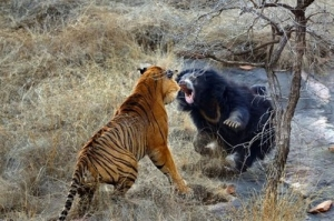 【クマー】 クマとトラが戦った結果wwwwwwwwwwwwwwww 【画像11枚】