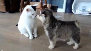 猫が大好きな生後6週の子犬たち・・・猫さん大変そうだ【海外の反応】