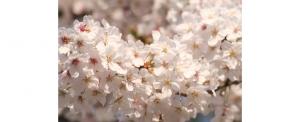 【綺麗】桜の季節だし桜の写真うpしてく(※19枚)