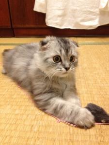 【画像】猫拾ったんだけど何の種類かわかる奴いる?