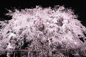 【画像】妖艶な美しさに息を飲む、夜桜の姿