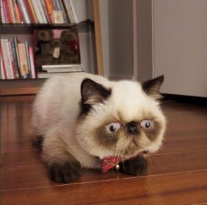 平らな顔のシャム猫さんの画像集