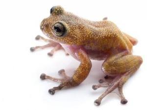 【画像】トゲだらけの新種カエルがベトナムで発見される