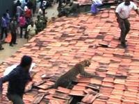 野生のヒョウvs人間たち。そんな棒切れで立ち向かうのは無謀やろ?インド動画。