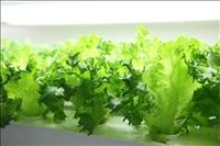 【農業】富士通、半導体工場を植物工場に転用して栽培したレタスを初出荷