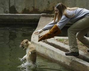 【画像】 獅子は千尋の谷に我が子を突き落とすという…