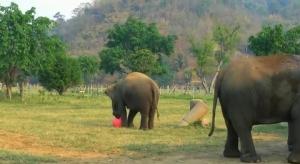 象がボールで遊んでいる!楽しそうな動画【海外の反応】