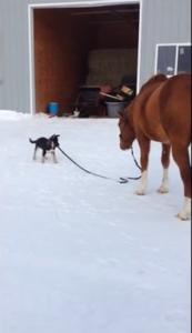 生後3ヶ月の子犬が馬を誘導!馬の引き手を子犬が引っ張ると馬がついて行く!【海外の反応】