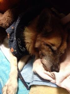 うちの犬が寝たきりになって1年半たった