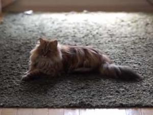 うちの猫 + カーペット + レーザーポインター = 地震シミュレーターになる。